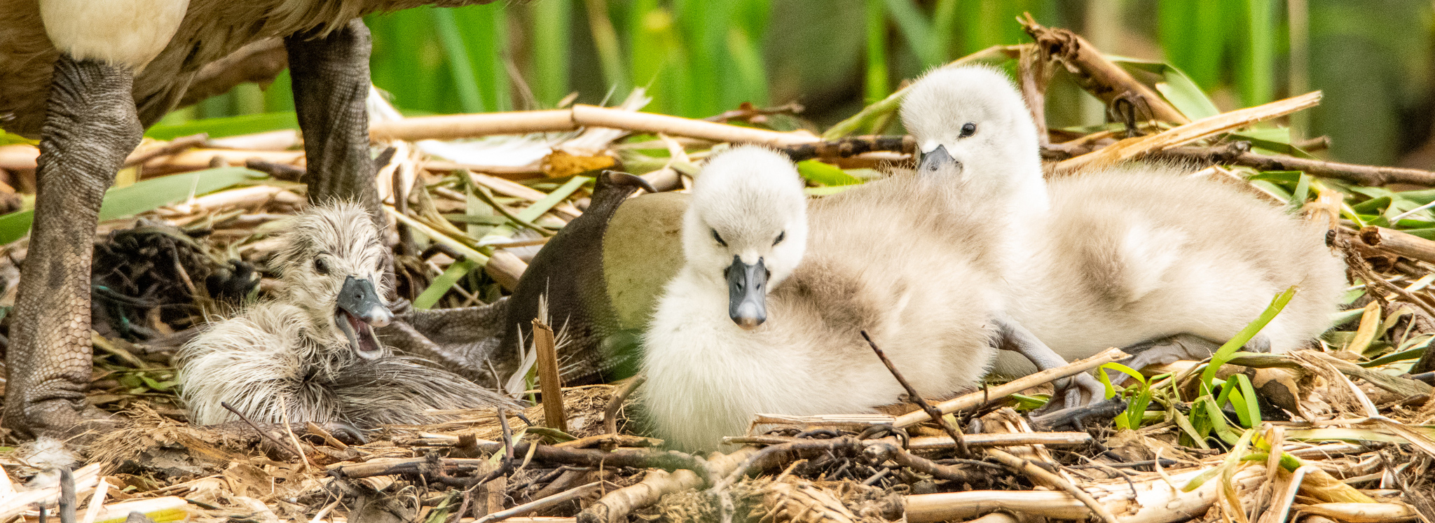 swan baby-- photocredit: Michelle Carson